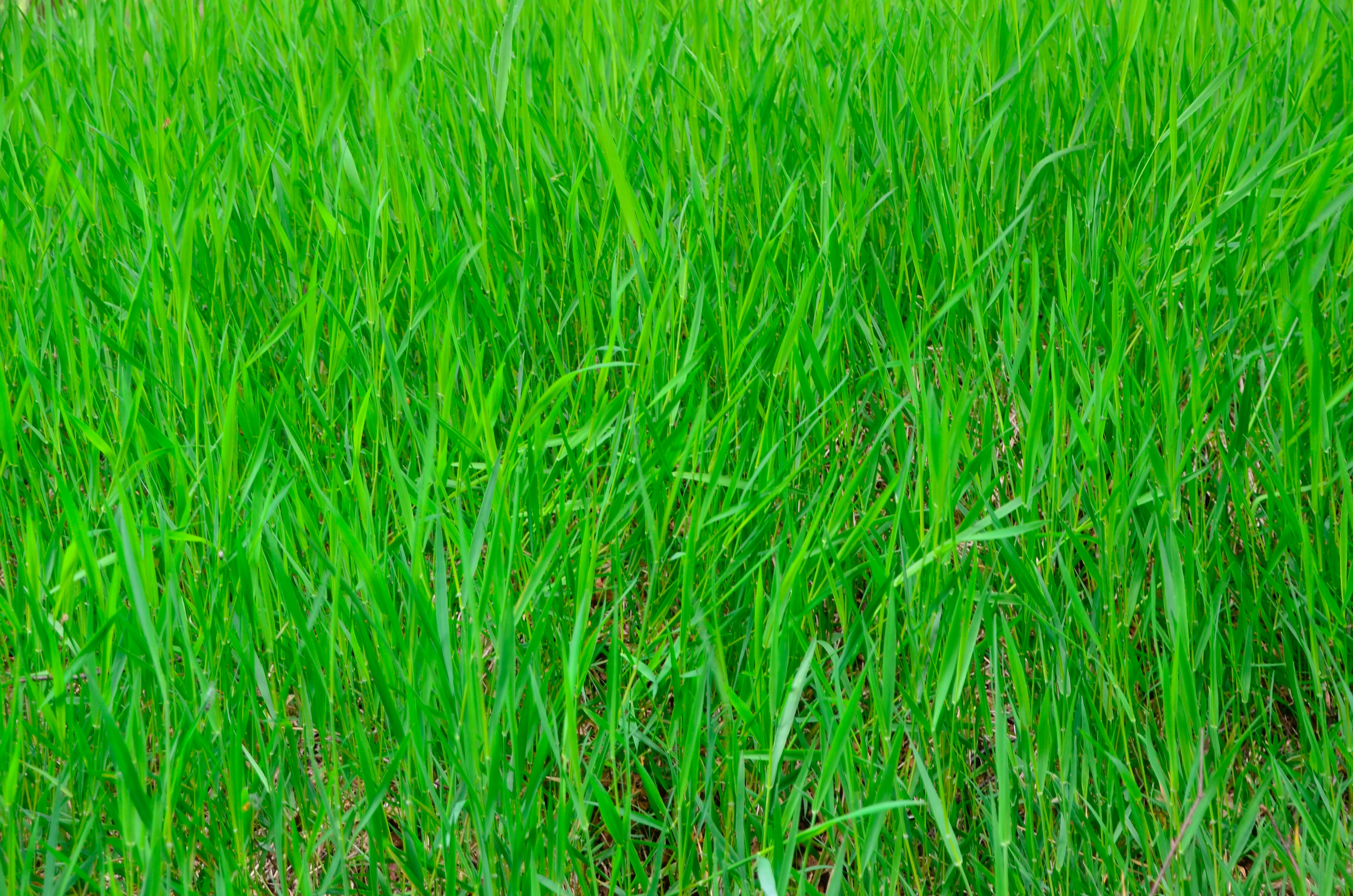 Want a Green Lawn This Winter? Ryegrass Might Not Be A Good Idea